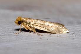 Destructive Rug Eating Moth