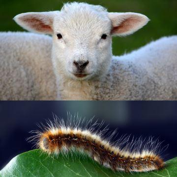 Sheep Make Wool, Silk Worms Make Silk