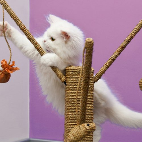 White persian cat playing with the scratching climber tree