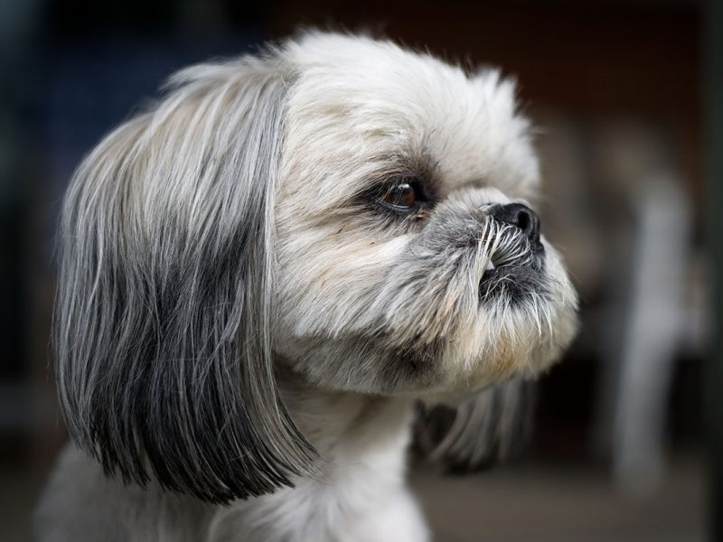 The face of a cute and newly groomed Shih Tzu sog staring intently off camera.