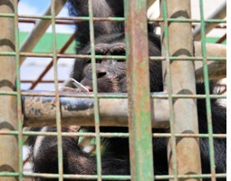 Feature: Smoking Chimp Saved from Local Zoo