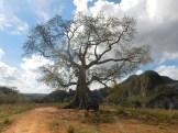 Ett religiöst träd som Kubanerna skänker pengar och andra gåvor till.