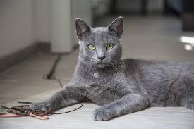 kucing terkecil di dunia