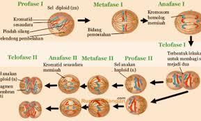 ciri khas pembelahan mitosis dan meiosis
