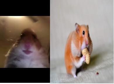 hamster pp tiktok