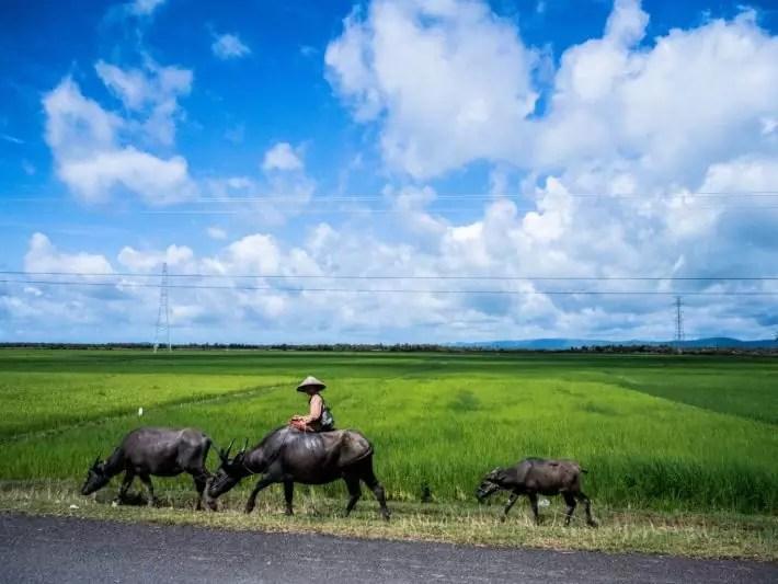 Padi field Kampot Cambodia