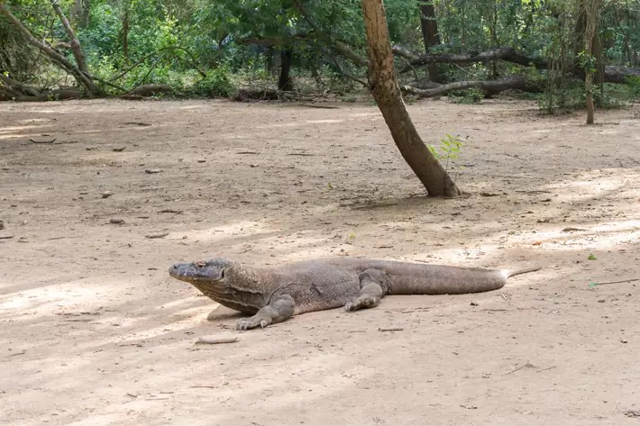 Komodo-Dragon-national-park-flores-indonesia; things to do in labuan bajo
