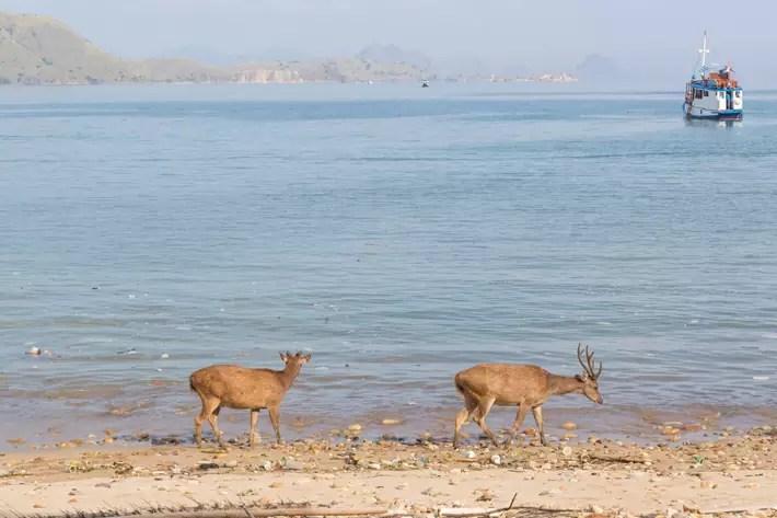 deer-prey-Komodo-Dragon-national-park-flores-indonesia