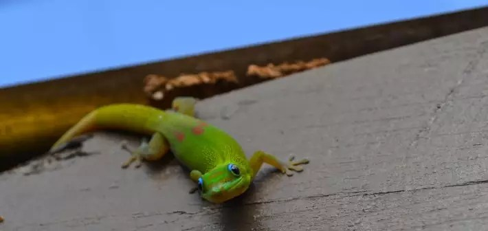 gecko, North Shore Oahu Activities