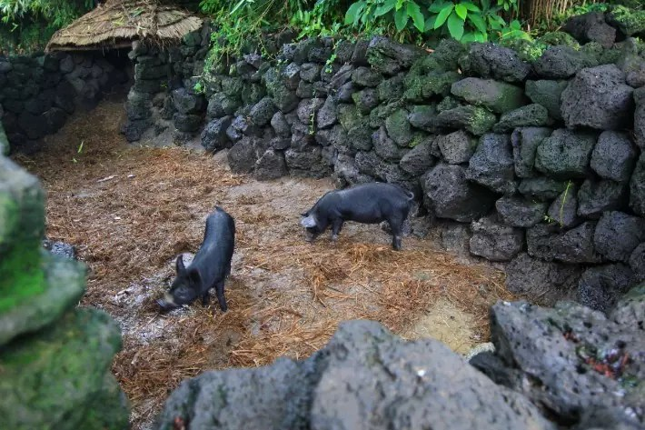 Seongeup Folk Village black pig pork, things to do in jeju island; what to do in jeju island, jeju island attractions