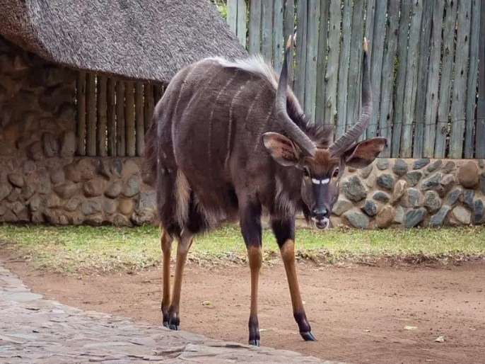 nyala, Rhino River Lodge, South Africa, safari game drive-49