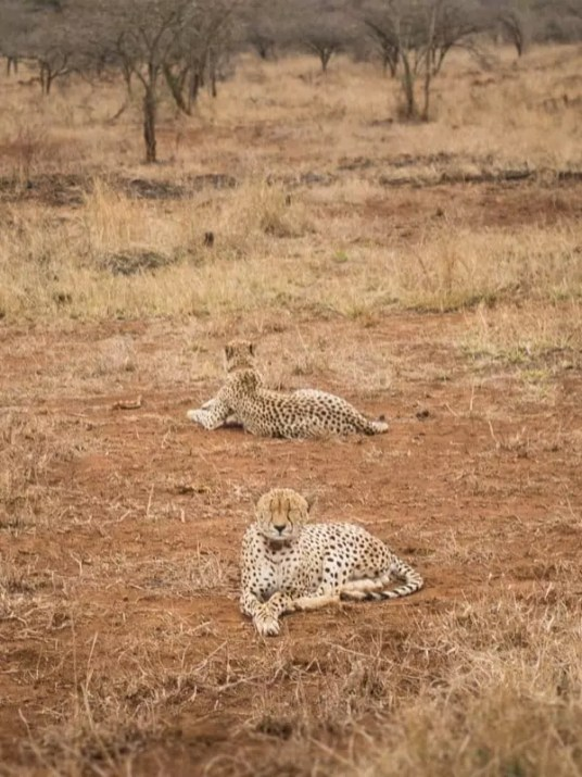 cheetah, Thanda-Safari-South-Africa