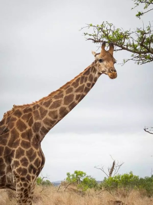 giraffe, Thanda-Safari-South-Africa