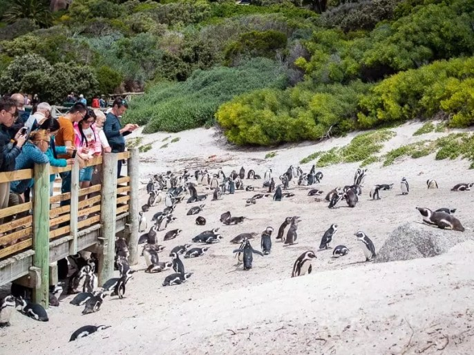 boulders-beach-penguins-Cape-Town-South-Africa