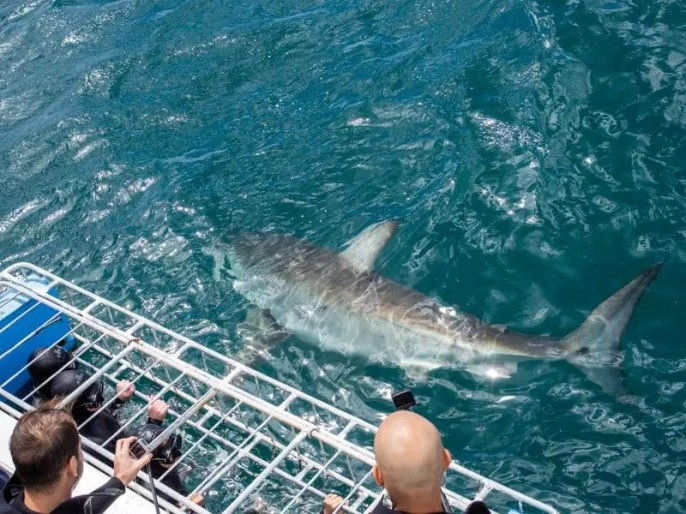 great-white-shark-cage-diving-mossel-bay-south-africa