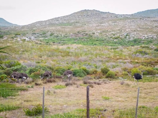 ostrich-Cape-Town-South-Africa