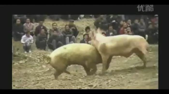 Video: Thousands watch two PIGS fight in annual Chinese sport ...