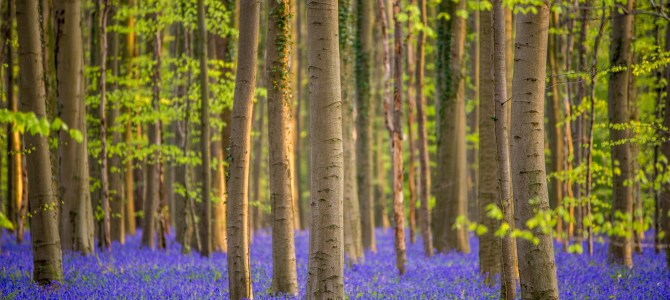 """All you need to know about the Magical Bluebell Forest """"Hallerbos"""" in Belgium"""