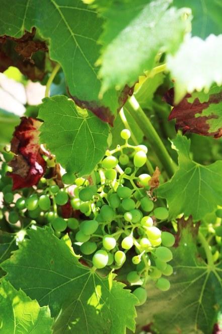 vinyardinfrance