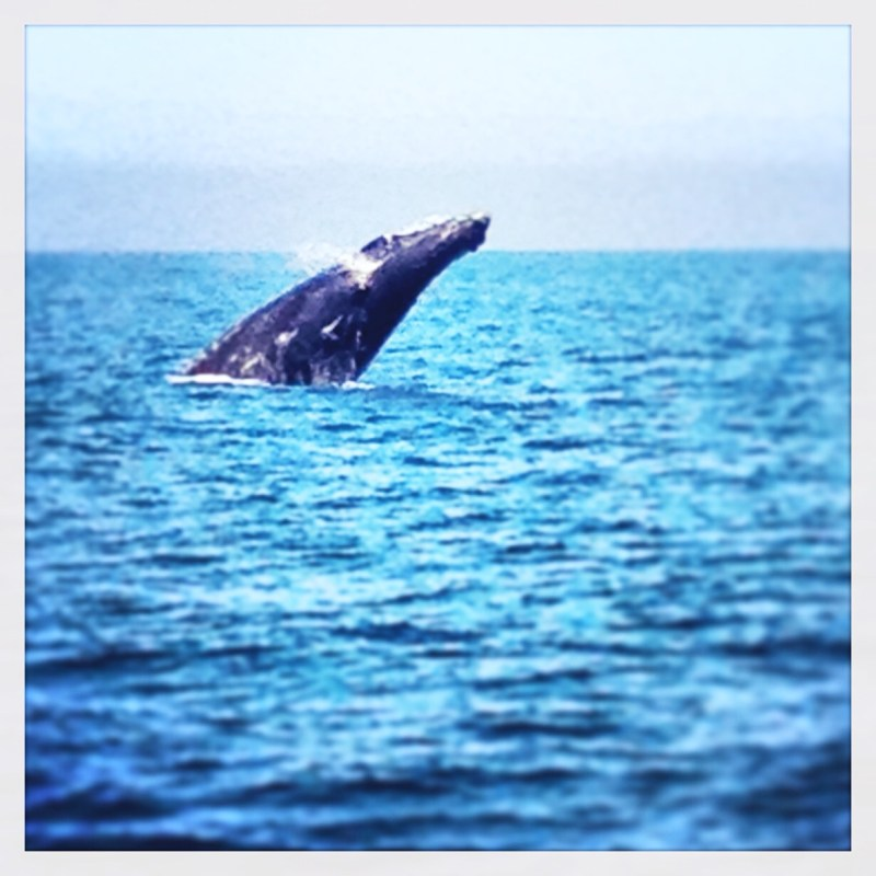 a humpback whale breaching off the california coast