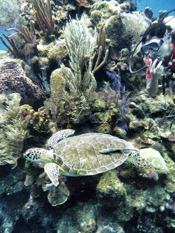 Belize Coral Reef and Turtle