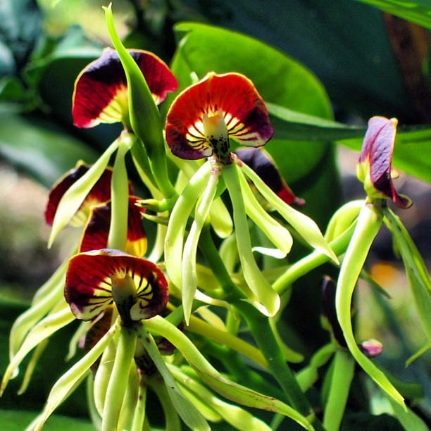Black Orchid Belize national flower.