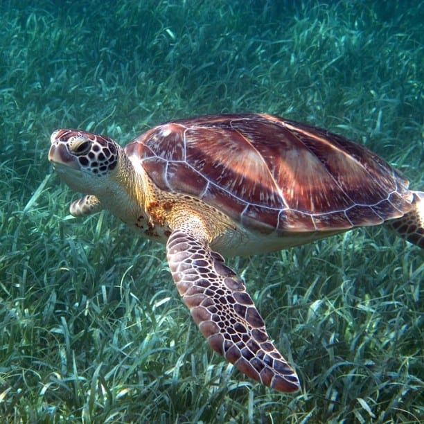 Hawksbill Turtle in Belize