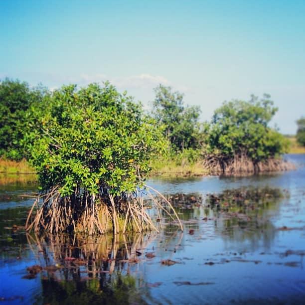 Mangrove swamps in Belize