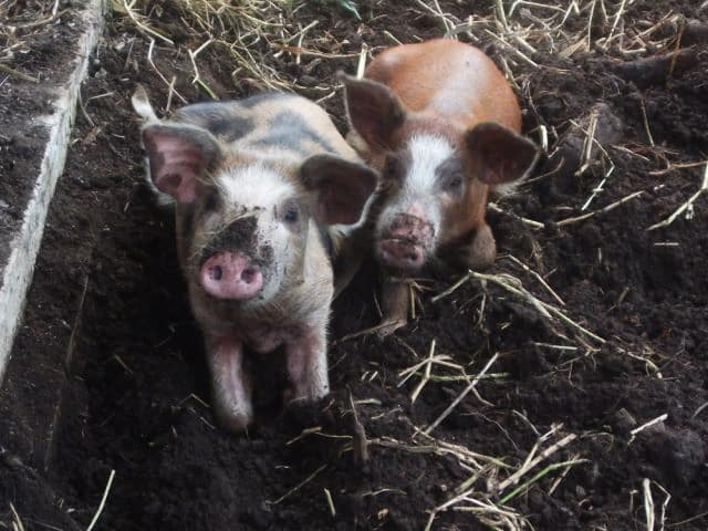 belize farm pigs