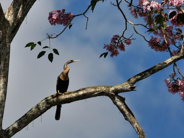 Anhinga bird in Belize