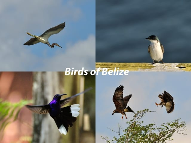 Pictures of birds of Belize