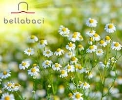 Benefits of Cape Chamomile - Repair Your Body and Mind - By Bellabaci Cellulite Cupping Massage