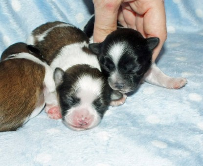 Two parti color puppies