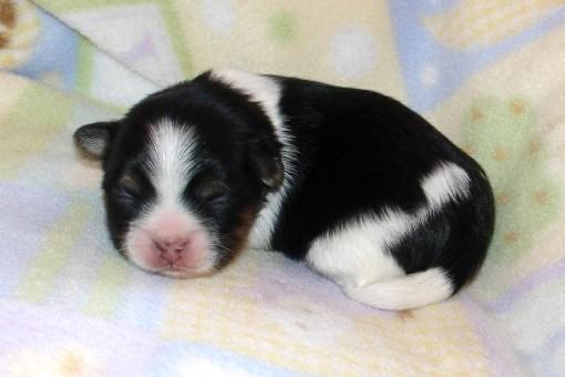 Buttercup's newborn, tri color puppy