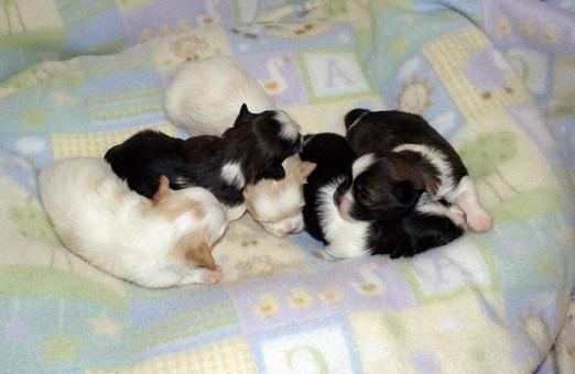 Litter of five puppies