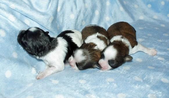Parti color puppies