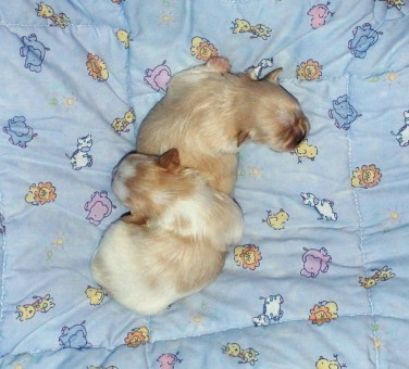 Solid cream & white & apricot newborn puppies