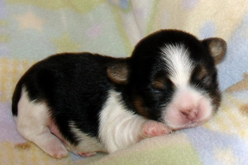 Tri color puppy at 1 week