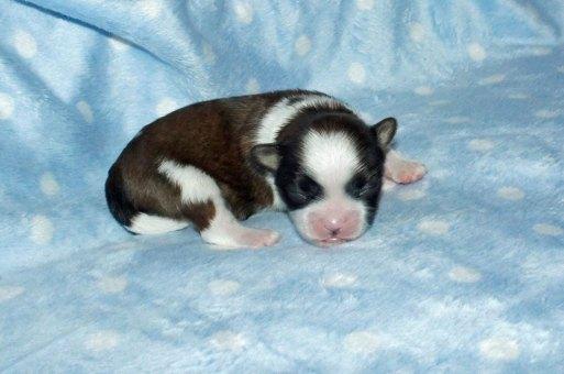 Cooper - red sable & white newborn