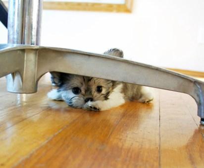 Luli enjoys her spot peeking from under the table