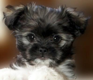 Minnie is a long coat Mi-Ki puppy.