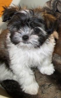 Long coat Mi-Ki puppy at 9 weeks