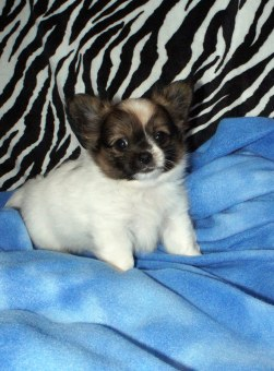 Here's Bailey at 7 weeks. His color is brown & white.