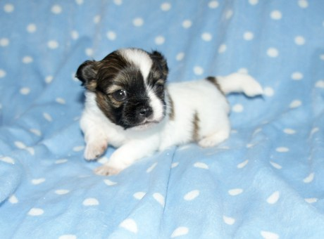 Bailey, a sable & white smooth face at 3 weeks