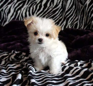 White & apricot puppy at 8 weeks