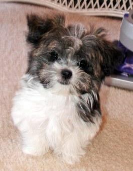Violet - long coat Mi-Ki puppy at 12 weeks