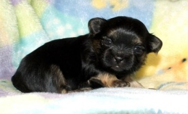 Black And Tan Puppy Three Weeks