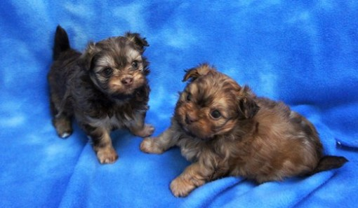 Hazel and Charlie Chocolate and tan Mi-Ki Puppies
