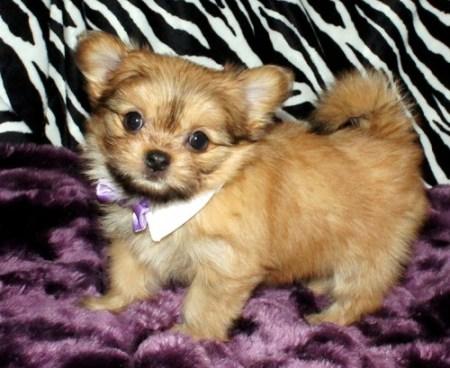Solid Sable Mi-K Puppy With Bow Tie