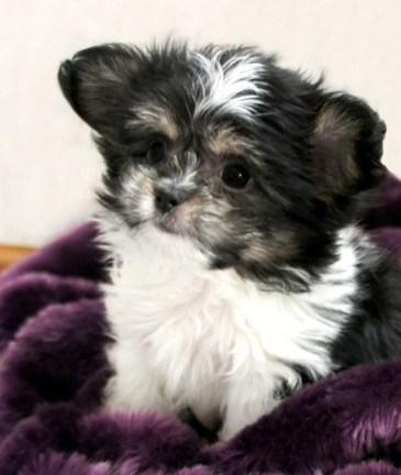 Tri Color Mi-Ki Puppy